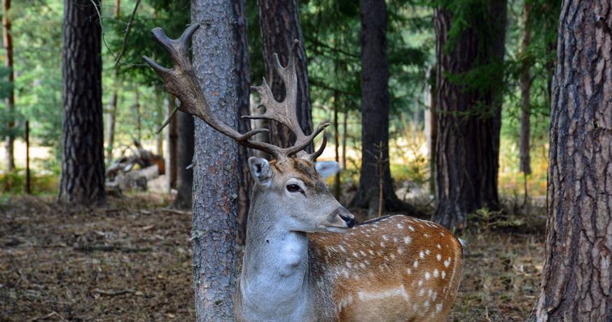 Hunting Area Nidze - Le Daim (Dama Dama)