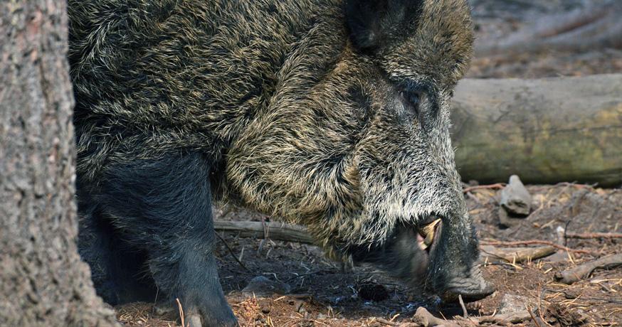 Hunting Area Nidze - Дива свиња